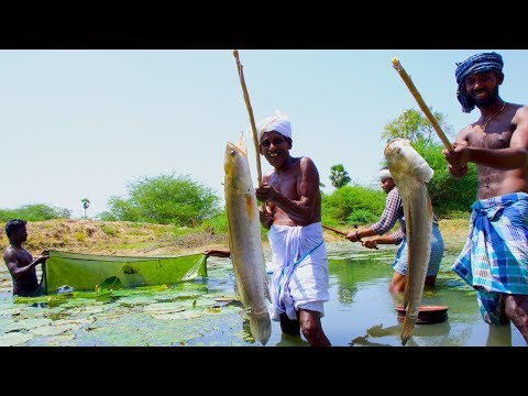 Fish Catching and Cooking | Viral Meen Kulambu | Snakehead Murrel Fish Curry Recipe | Village Food