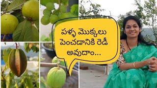 Fruit Trees  For Terrace Garden/ Preparations For Fruit Gardening #fruittrees #middethota
