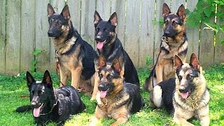 Video Brochure For The Best Family Raised Personal Protection Dogs For Sale