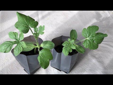Granatapfel-Frucht ist nützlich bei Diabetes