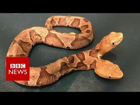 Double-headed snake surprises homeowner - BBC News
