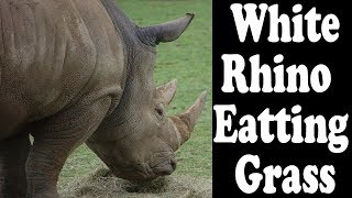 Rhinoceros eating Grass at Zoological Park-Animal Zone