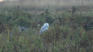 A snowy owl in Delta, BC