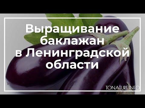 Выращивание баклажан в Ленинградской области   toNature.Info
