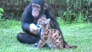 Chimpanzee and Puma