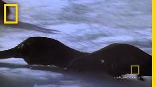 Otter Chaos | National Geographic thumbnail