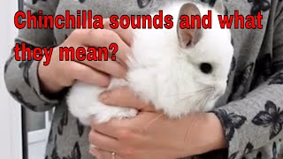 Chinchilla Sounds And What They Mean?