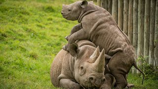 Adorable Rare Rhino Calf Begs Sleepy Mom for Attention by Jumping All Over Her