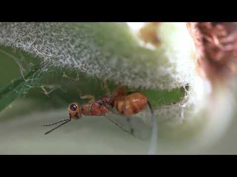 Lehetnek- e pinwormok az orrban