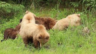 Brown Bear Family Eats Lunch and Naps - Part 1