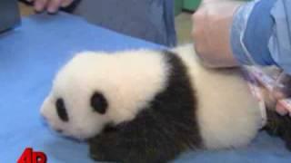 Малышня панд