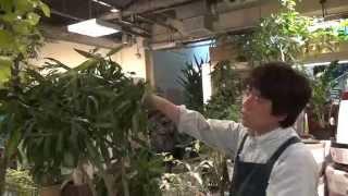根腐れを仕掛けている観葉植物の対処方法剪定編