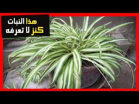 , title : 'لو كان لديك اي من هذه النباتات في منزلك ، فأنت تمتلك كنز لا يقدر بثمن