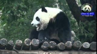 20150111圓仔自己回家 The Giant Panda Yuan Zai