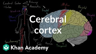 Cerebral cortex | Organ Systems | MCAT | Khan Academy