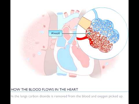 Bloodflow through the heart
