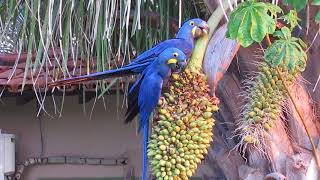 Pair of hyacinth macaws @Porto Jofre hotel, Brazil