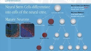 The Study of Stem Cells