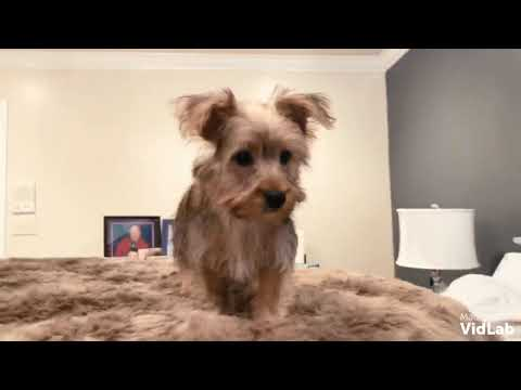 Rocky is a very intelligent, laid back , disciplined Yorkshire Terrier