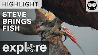 Steve Arrives With A Fish - Audubon Osprey - Live Cam Highlight