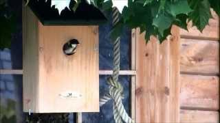 5 Mei 2014: Nest Van 7 Jonge Koolmeesjes Vliegt Uit.