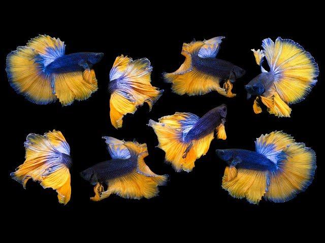 BEAUTIFUL FISH!!!! Unboxing 4 New Amazing Betta Fish!! New light for the planted Betta Aquarium