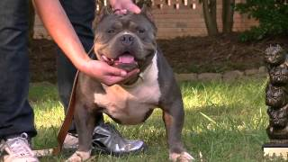 THE ULTIMATE AMERICAN BULLY