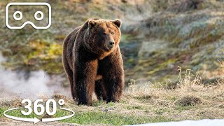 Bears Brave Boiling Pools To Feed | VR 360 | Seven Worlds, One Planet