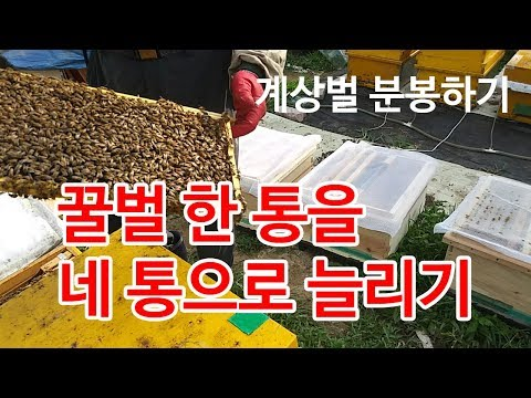 꿀벌 한 통을 네 통으로 늘리기, 인공 분봉, 벌통 늘리기