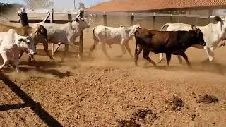 Bovino Corte Senepol Novilha - e-rural Imagens