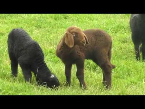 , title : 'Breeds of Livestock, cattle horse, goat, sheep, chicken, goose, duck, turkey