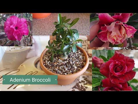 Пересадка Адениума Broccoli.. Печалька.. И немного красоты! )