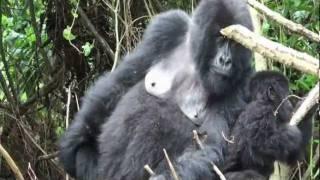 preview picture of video 'Mountain Gorillas in Rwanda'