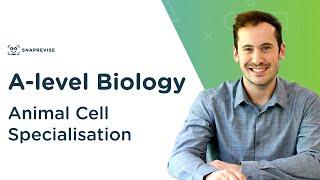 Animal Cell Specialisation | A-level Biology | OCR, AQA, Edexcel