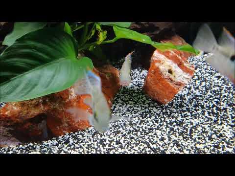 10 Fische für Fortgeschrittene Aquarianer   Aquarium Fische