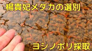 楊貴妃メダカの選別とヨシノボリ採取 人工餌を食べます
