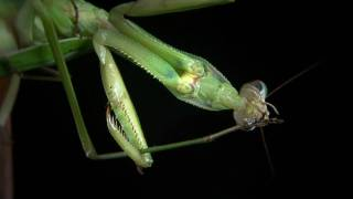 preview picture of video 'SUNY Fredonia Praying Mantis Behavioral Studies Project'