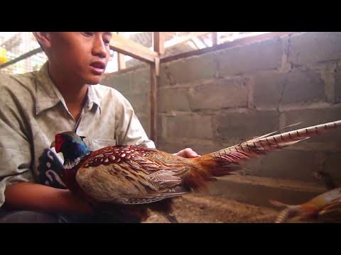 Video KISAH SUKSES : Prayitno Farm Berhasil Ternak RingNeck Pheasant