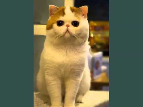 Exotic Shorthair | Picture Ideas Of Cats