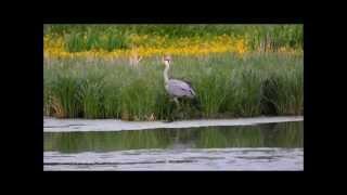 preview picture of video 'Graureiher beim Fischen'