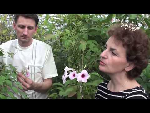 """Редкие комнатные цветы.  Пондарея. Сайт """"Садовый мир"""""""