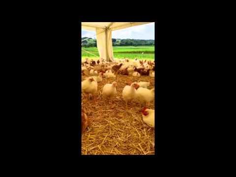 Weidehuhn von Hütter Pute & Huhn