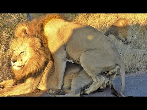 Male Lion Mates with Another Male