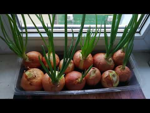 Как вырастить зеленый лук на подоконнике в домашних условиях зимой.