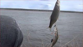 На что клюет рыба в енисеи