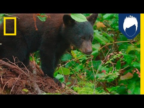 Black Bears Are Better Tree Climbers Than You—Here's Why | National Geographic thumbnail