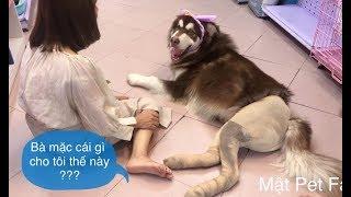 Chó Mật mặc quần áo , ra đường đứng làm người đi đường cười té ghế ==))