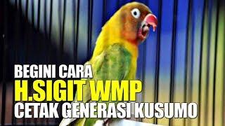 Tanpa DOPING Suntik ! Begini Caranya H.Sigit WMP Cetak Generasi LOVEBIRD KUSUMO