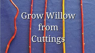 Grow WIllow from Cuttings (dogwood too)