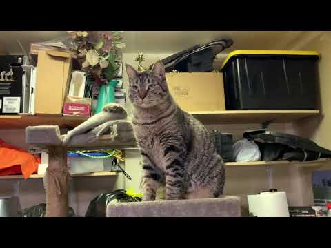 Murphy, an adoptable Tabby & Domestic Short Hair Mix in Springfield, OR_image-1
